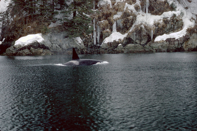 Файл:Orca in Prince William Sound.jpg
