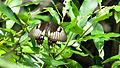 Orchard Swallowtail (16072670697).jpg