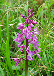 Orchis-mascula.jpg