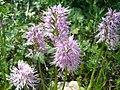 Orchis italica.005 - Serra de Enciña de Lastra.JPG