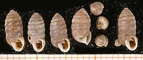 Große Fässchenschnecke (Orcula dolium (Draparnaud, 1801))