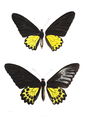 Ornithoptera heliaconoides 421.png