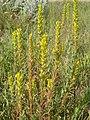 Orthocarpus luteus (5165991632).jpg