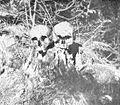 Ostanki prinešeni iz Krimske jame.jpg