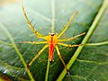 Oxyopes salticus spider 01.jpg