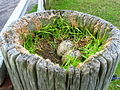 Oyster Catchers nest top of gate post by Tayinloan. - geograph.org.uk - 57909.jpg