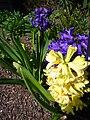 P1130457 Tellima grandiflora odorata (Saxifragaceae).JPG