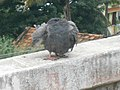 PC190674 Headless Piegon.jpg
