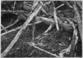 PSM V77 D091 Imperfect nest of great herring gull.png