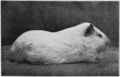PSM V77 D427 An albino male guinea pig.png