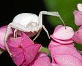 Pablin79 - Crab Spider (by-sa).jpg