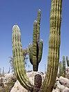 Pachycereus pringlei baja california 1