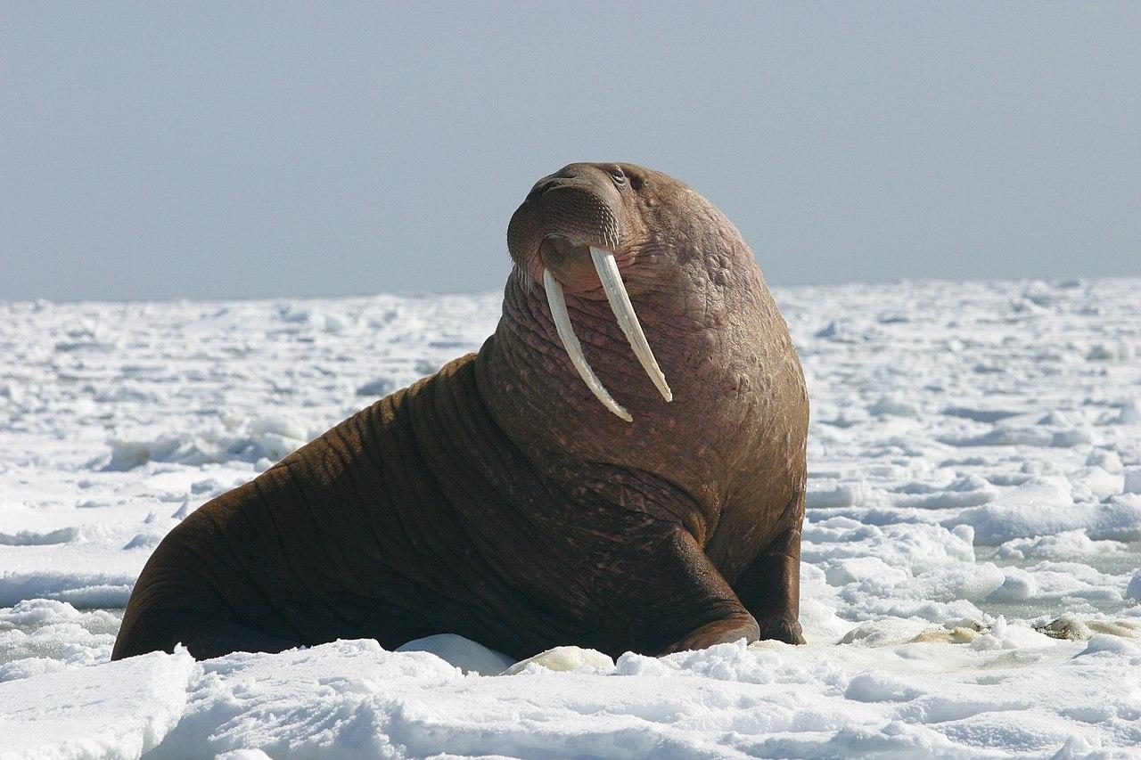 Pacific Walrus - Bull (8247646168).jpg