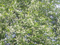 Padus racemosa (Lam.) Gilib..JPG