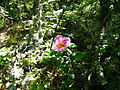 Paeonia daurica in Laspi2.JPG