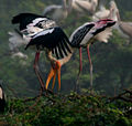 Painted Stork (Mycteria leucocephala) in Uppalpadu, AP W IMG 3310.jpg
