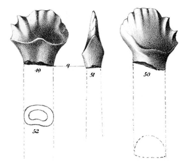 Palaeoscincus costatus