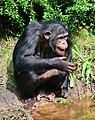Pan troglodytes - Serengeti-Park Hodenhagen 15.jpg