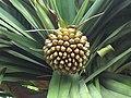 Pandanusutilisfruit.JPG