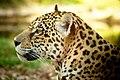 Panthera onca -Gramado Zoo, Gramado, Rio Grande do Sul, Brazil -head-8a.jpg