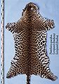 Panthera pardus (Leopard (Indien)) skin.jpg