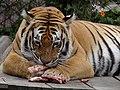 Panthera tigris Parque Jaime Duque.JPG