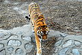 Panthera tigris altaica at Beijing Zoo.JPG