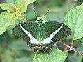 Papilio crino from Melagiri TN IMG 6841.jpg