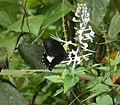 Papilio euchenor euchenor (48642609076).jpg