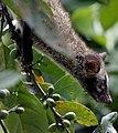 ParadoxurusHermaphroditusPhilippinensis01.jpg