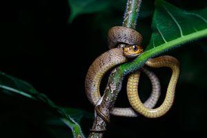 Pareas carinatus - Image: Pareas carinatus, Keeled slug eating snake
