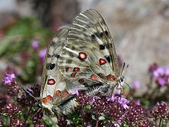 Parnassius apollo.jpeg