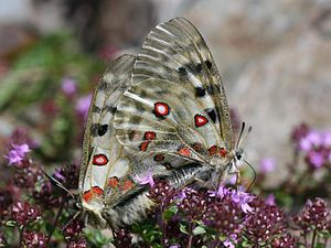Apollo (butterfly) - Mating pair