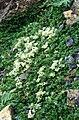 Paronychia kapela ssp serpyllifolia 2.jpg