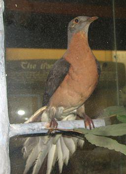 Passenger Pigeon 001