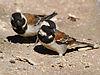 Passer melanurus (2 males)