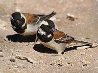 Passer melanurus (2 males).jpg