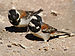 Old World Sparrows - Photo (c) Hans Hillewaert, some rights reserved (CC BY-SA)