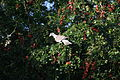 Patagioenas corensis - Bare-eyed Pigeon - Venezuelankyyhky IMG 1015 C.JPG