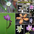 Patchwork fleurs drosera.jpg