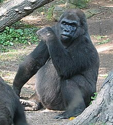Pattycake Gorilla Wikipedia