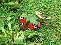 Peacock butterfly - geograph.org.uk - 912818.jpg