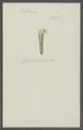 Pectinaria spec. - - Print - Iconographia Zoologica - Special Collections University of Amsterdam - UBAINV0274 102 18 0006.tif