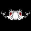 Pectoralis minor muscle superior.png