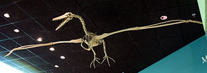 Skelett von Pelagornis im National Museum of Natural History in Washington D.C.