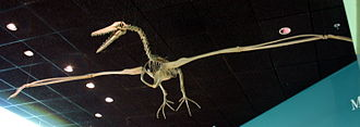 Pelagornithidae - Replica of a Pelagornis miocaenus skeleton at the NMNH