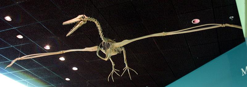 Pelagornis miocaenus Skeleton