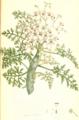 Pelargonium crithmifolium SmSo.png