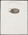 Pentonyx capensis - 1700-1880 - Print - Iconographia Zoologica - Special Collections University of Amsterdam - UBA01 IZ11600145.tif