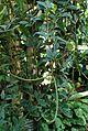 Peperomia tetragona kz3.jpg